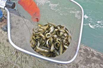 Oshawa express for Fish stocking ca